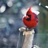 m'sieur cardinal by bluePartout
