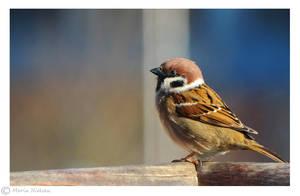 Tree sparrow by Moonbird9