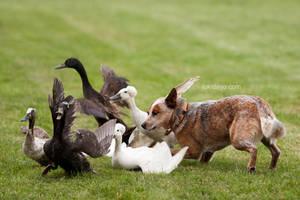Duck, Duck, GOOOOOSE by lokidayo
