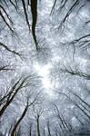Trees in Snow by pnewbery