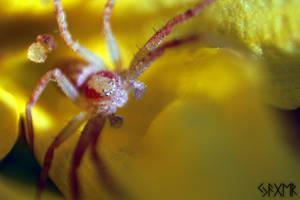 Tiny spider by MarkoBangiev