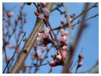 peach blossoms II by starrybluediamond