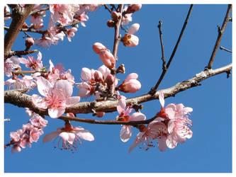 more peach blossoms by starrybluediamond