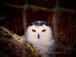 Snowy Owl - Harfang des Neiges by AuroreMaudite09