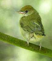 birdie by alcatraz-pardo