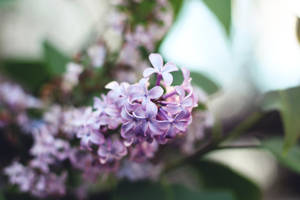 Birthday Lilacs by fotomademoiselle