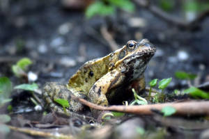 early frog by WolkenWelten