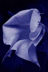 Datura bleues by ManDrakeGore