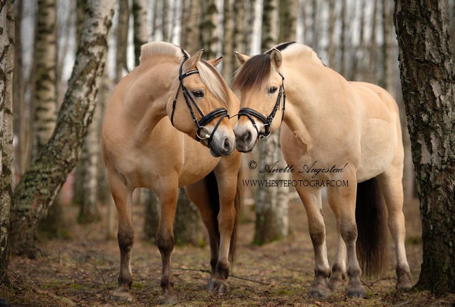 The Norwegian Fjord Horse by Hestefotograf
