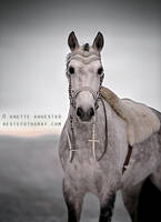 Cinderella Horse by Hestefotograf