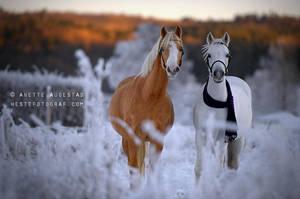 Christmas Ponies by Hestefotograf