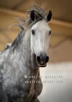Epa Lusitano Stallion by Hestefotograf
