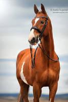 Dressage Horse by Hestefotograf