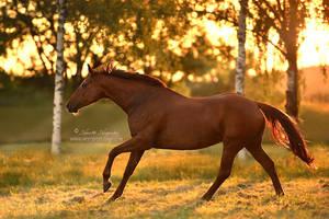Golden Dancer by Hestefotograf