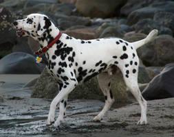 Dalmatian Stock 01 by dogogle