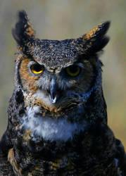 Great Horned owl by hellsbella