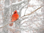 winter red bird by Tommy8250