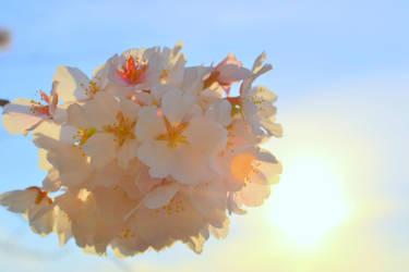 cherry blossom by nataliasart