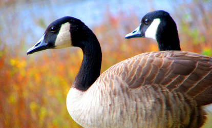 geese by laurelrusswurm