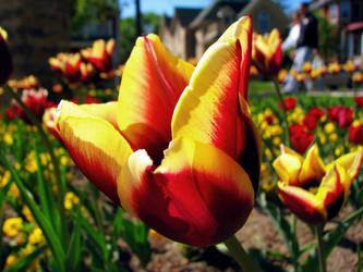 tulip by laurelrusswurm