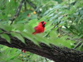 Cardinal by laurelrusswurm
