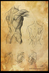 Study: The Torso / Trunk 3 (back) by Shockowaffel