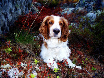Kosmo- Welsh springer spaniel by LaCamille