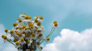 Daisies and Sky by dorukkirezci