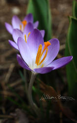 Spring Comes in Threes by the-panic-button