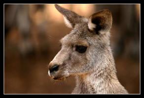 Kangaroo by WindCrest