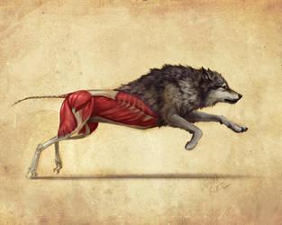 Wolf Anatomy Study by TamberElla