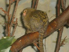 Philly Zoo: PYGMY MARMOSET by Brick-A-Brac