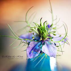 Love in a mist II by kim-e-sens