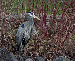 Great Blue Heron  by TRunna