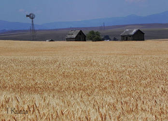 Amber Waves of Grain  by TRunna