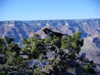 Raven at Grand Canyon by angel-ehron