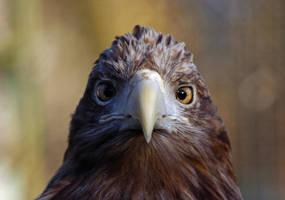 bald eagle by JasperGrom