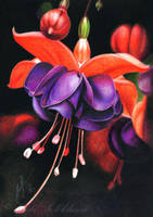 Fuchsia by slightlymadart
