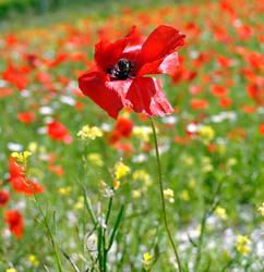 Poppy by xMarry-Annx