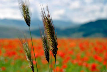Wheat and poppies by xMarry-Annx