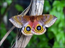 Female Io moth by J-Y-M