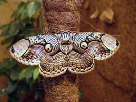 Brahmaea hearseyi, female by J-Y-M