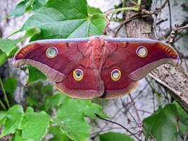 Antheraea mylitta, male - 2 by J-Y-M