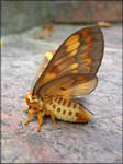 Citheronia aroa, female - 04 by J-Y-M