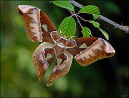 Rothschildia aurota, male - 4 by J-Y-M