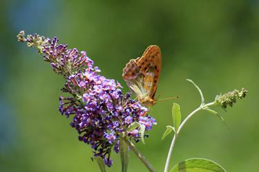 Butterfly by CrAz86