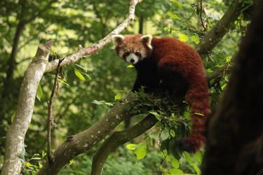 Red Panda by CrAz86