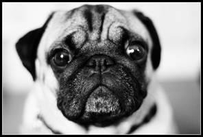 Pugs Three by ahedrick201