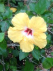Yellow Hibiscus by The2pAmericanHero123