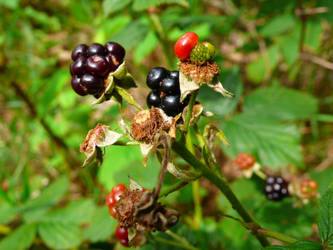 Blackberry by kffiot
